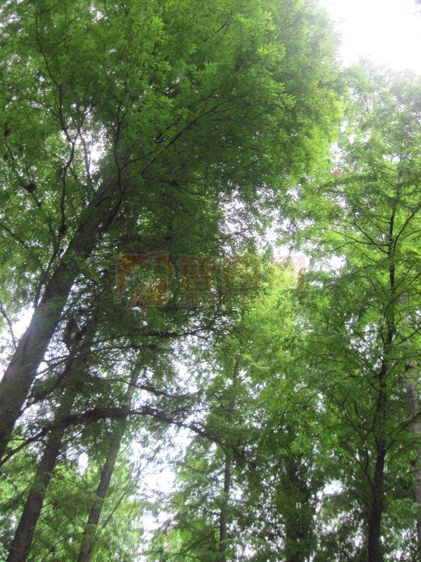 葱葱郁郁松树林