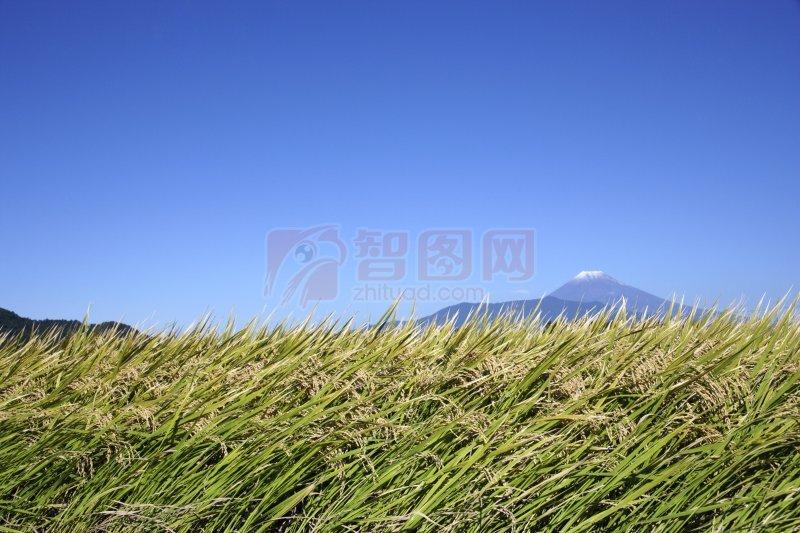 首页 摄影专区 生物世界 其它生物  关键词: 高清稻田 蓝色天空 金色