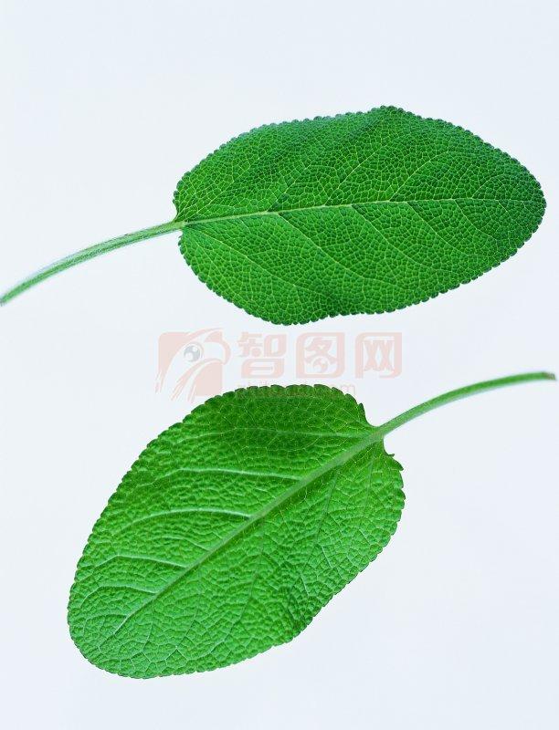 两个树叶是什么牌子 相同的树叶 一片银杏树叶