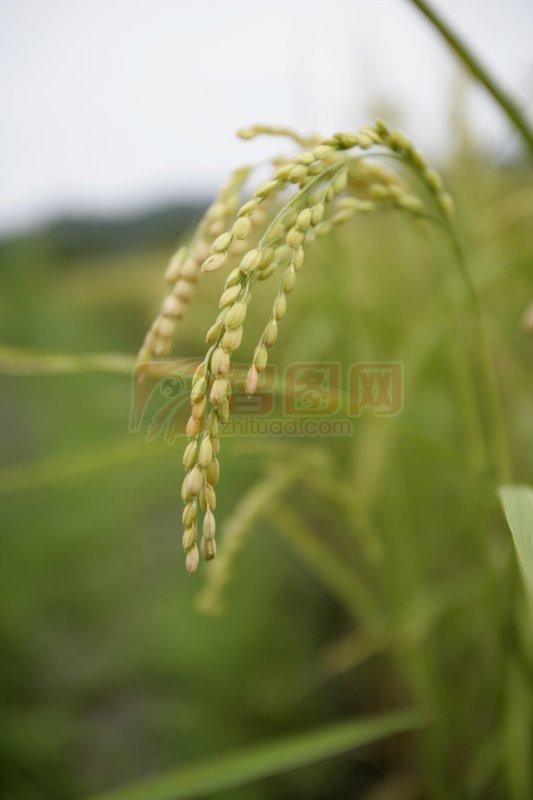 关键词: 高清水稻 绿色叶子 水稻元素 稻穗素材 水稻摄影 说明:-水稻