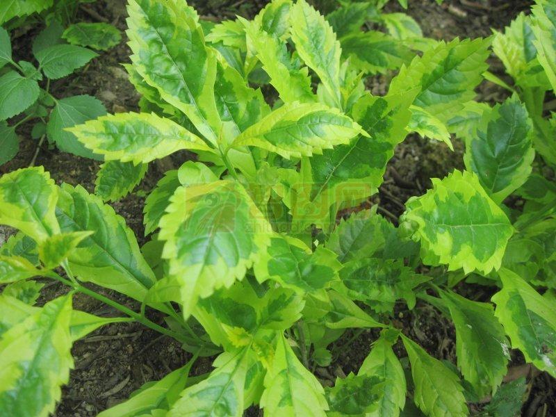 叶子底纹 叶子花纹 叶子纹理 植物纹理 叶片 珍草 仙草叶 仙叶 小树叶
