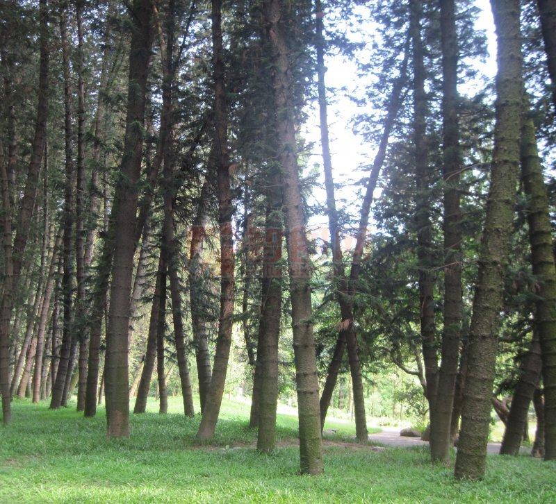 【jpg】高干松树林