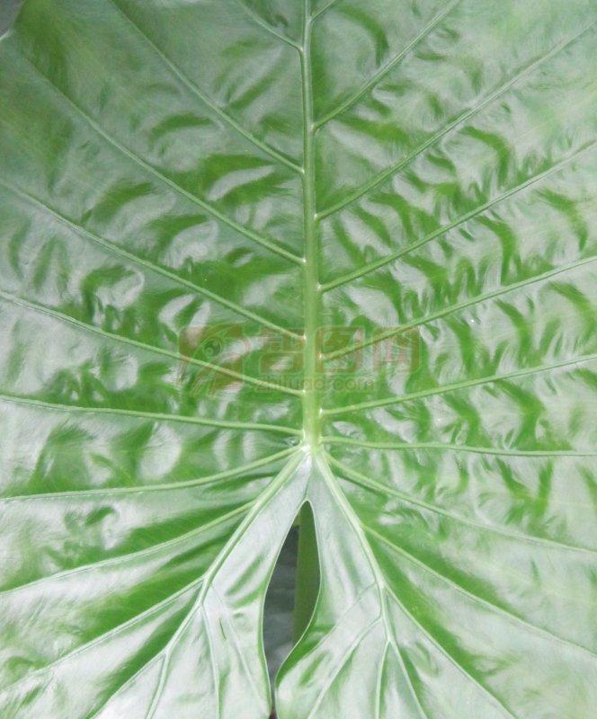 叶子纹理 植物纹理 青翠欲滴 嫩绿 芭蕉叶 大叶 心形叶 大叶纹 树叶纹