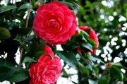 春花烂漫 摄影图库 创意模板 摄影图片下载 高清红花 摄影素材图片