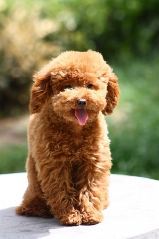 【jpg】泰迪犬图片下载