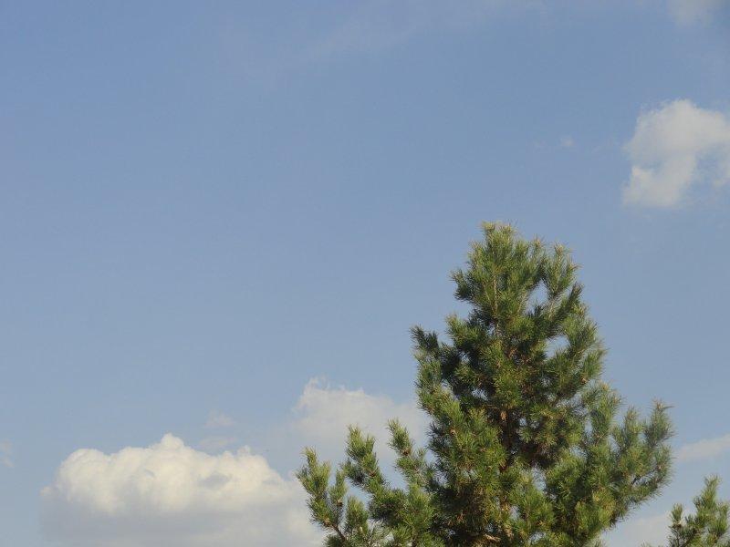 松树 松树元素 绿色松树叶子 松树素材 青松 苍绿青松 蓝天白云青松