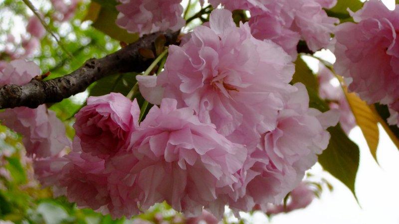 首页 摄影专区 旅游摄影 自然风景  关键词: 说明:-昙花 粉色 自然 上