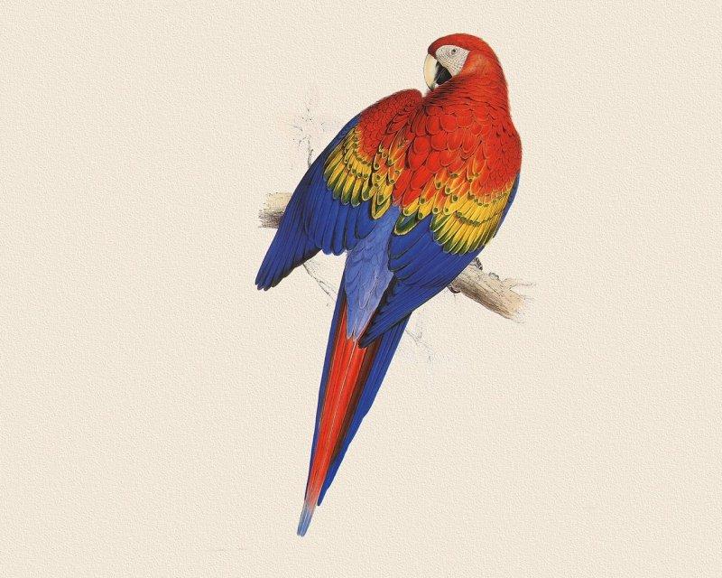 壁纸 动物 鸟 鹦鹉 800_640