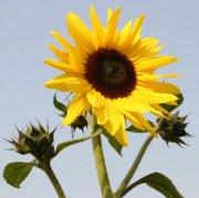 陽光中的向日葵