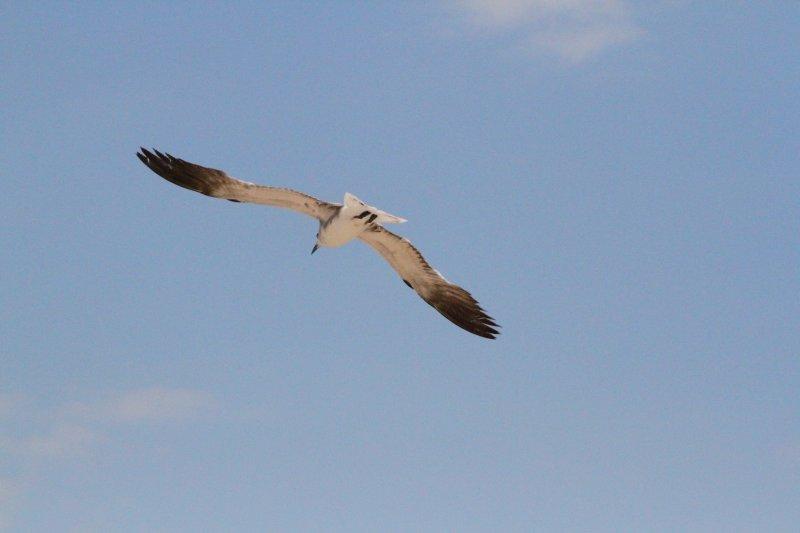 生物世界 野生动物  关键词: 高清海鸥 翱翔天空 展翅飞翔 说明:-海鸥