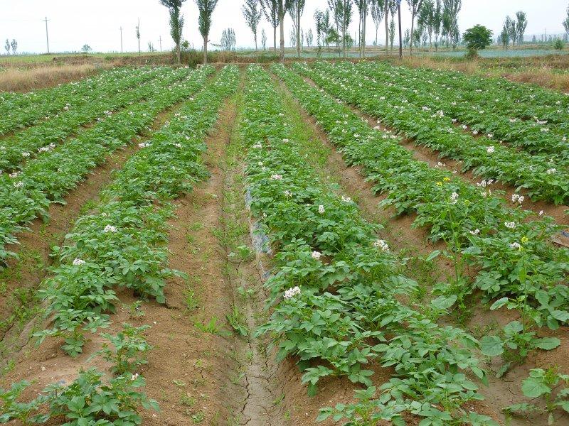 种植土豆的步骤图解