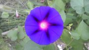 紫色牽牛花