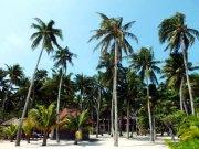 椰树 椰林