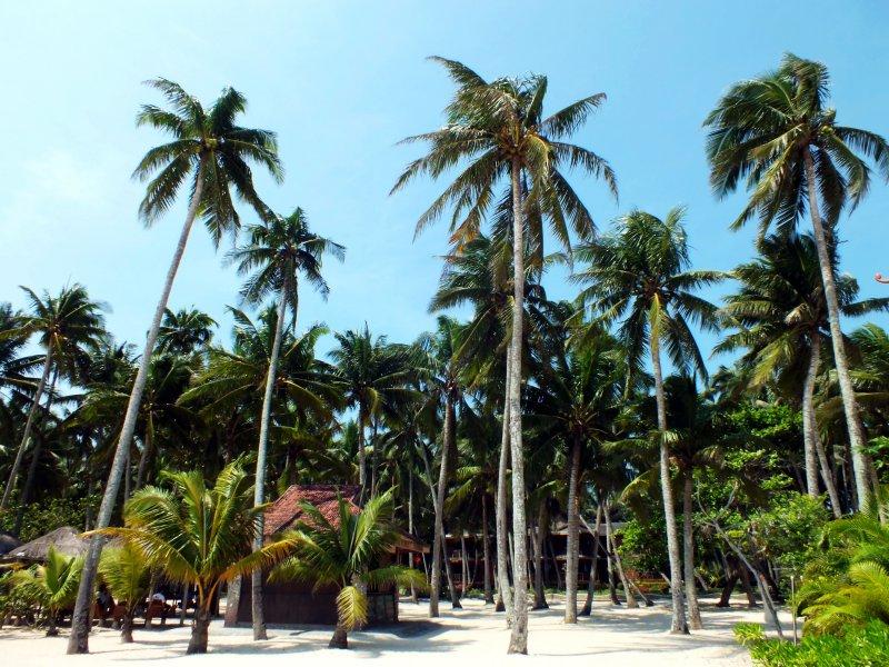 椰樹 椰林