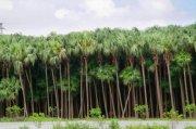 葵树林风景