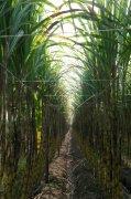 黃皮果蔗甘蔗林