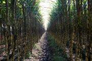 黄皮果蔗甘蔗林